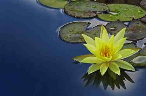 yellow flower in pond