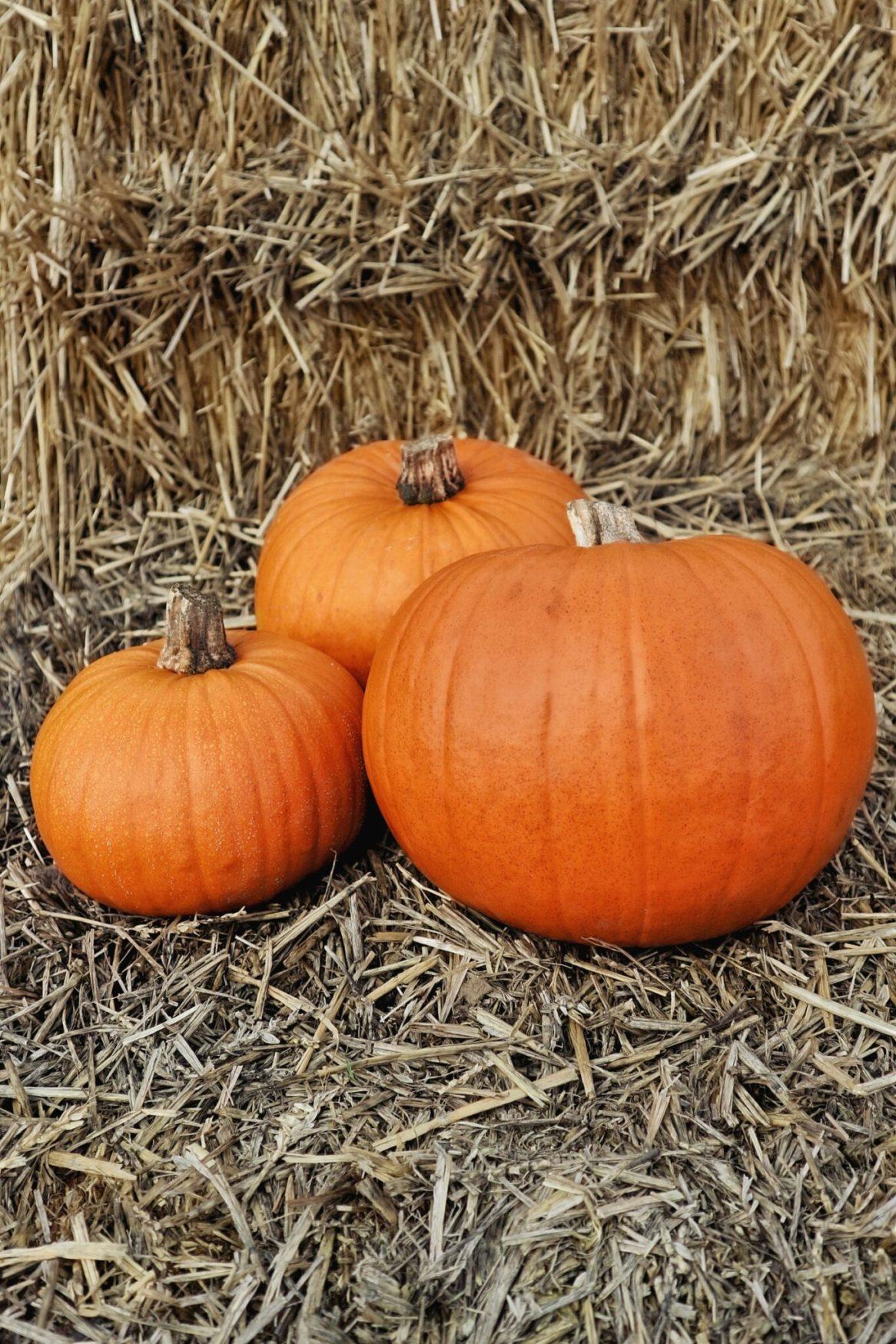 Graceful Blog classic orange pumpkins at Foxes Farm Produce Essex Pumpkin Patch