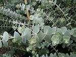 5 Eucalyptuses (Eucalypti?)