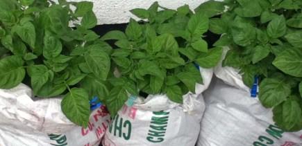 potatoes growing in old coal sacks