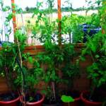 GROWING TOMATOES TALL PLANTS