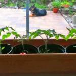 tomato plants