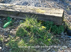 nettles growing under a railway sleeper illustrating an article about how to make nettle tea for plants