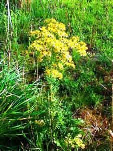 ragwort plant