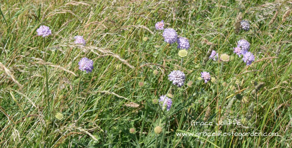 scabiosa flowers growing in a field