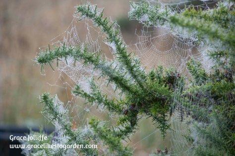 cobwebs-on-gorse