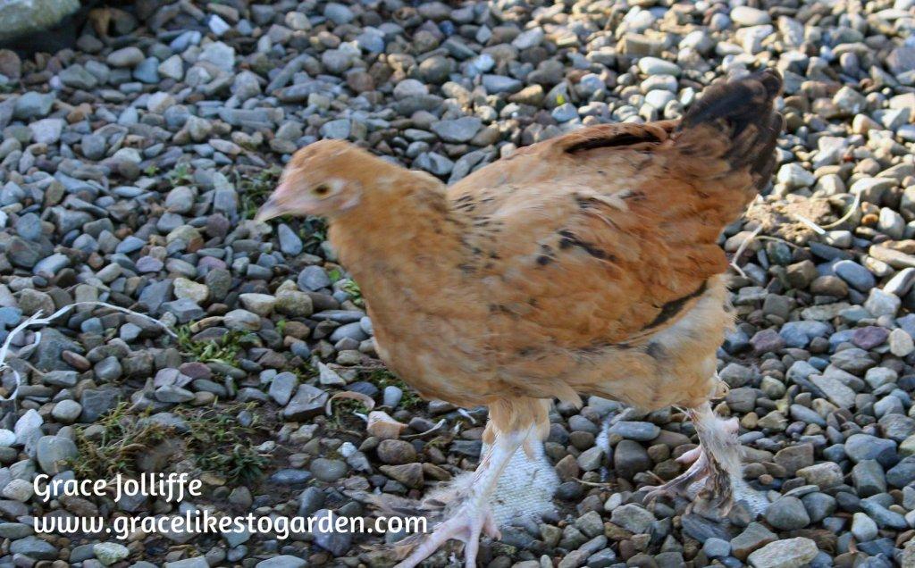 brown cockerel walking on gravel