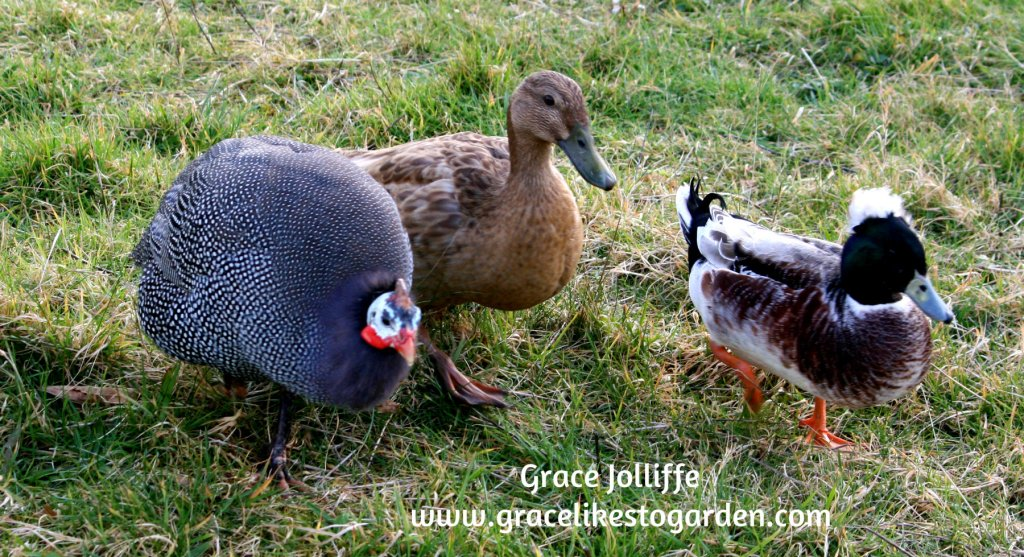 ducks and guinea hen walking in grass