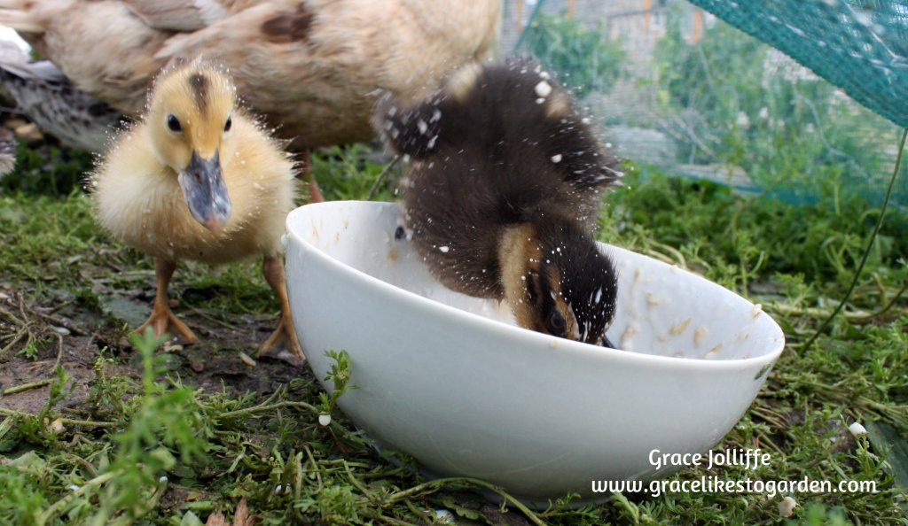 duckling diving into food bowl