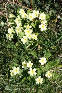 primrose plants in a Irish hedgerow