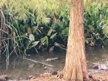 Gator Spotting