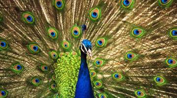 Proud Peacock. God's attitude on sin
