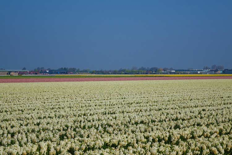 Tulip Season Holland -  7 Million Flower Bulbs Bloom In Spring