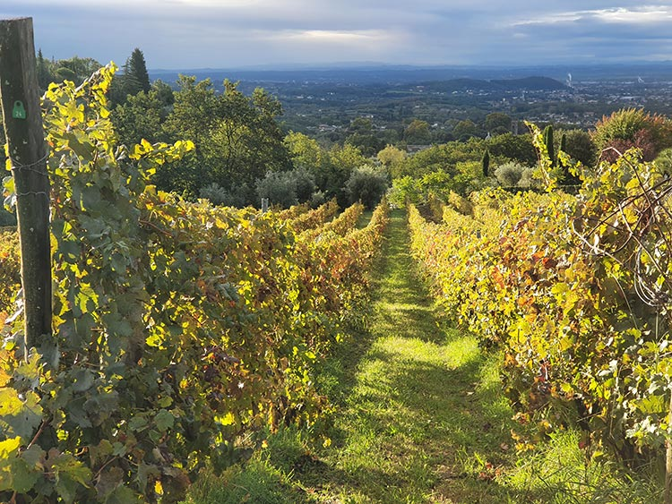 Fattoria Mansi Bernardini Lucca Tuscany (2) Vineyards