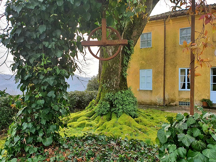 150 year old moss green tree Tuscany Italy