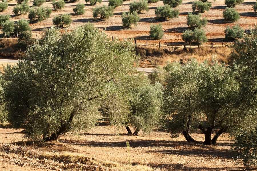 olive tree hope prosperity (2)