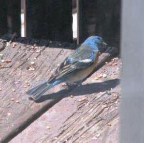 blue-birds