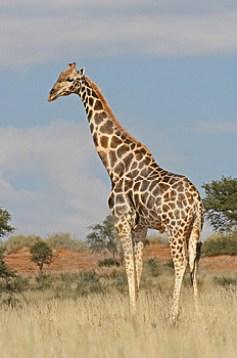 wild-giraffe