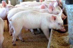 pig farming in Kenya