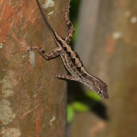 Brown Anole Olympus - Nikon Imaging