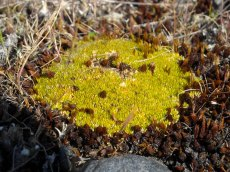 A doppleganger for the Scleranthus cushions at Birdling's Flat, this one is Colobanthus brevisepalus or so I am told
