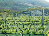 a vineyard benefits from valley winds and sups from the river