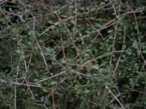 The divaricate shrub Coprosma virescens