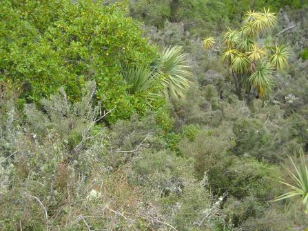 grey scrub, broadleaf and cabbage trees
