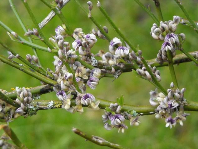 Common native broom (Carmichaelia australis)