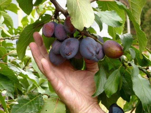Stanley prunes