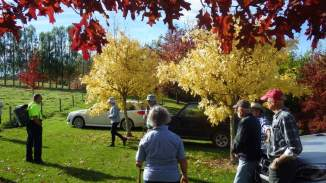 scarlet oak and grafted golden ash