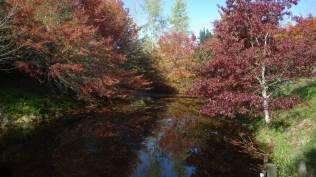 pin oak and red oak