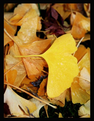 Gingko leaf..we love our Gingko trees here on the west coast!