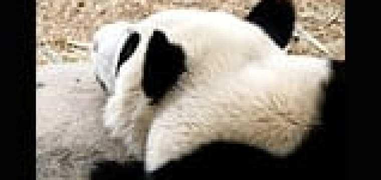 CHENGDU PANDA BASE…some amazing photos for my book!!