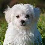 Maltese Puppy Wallpaper Iphone Android Desktop Backgrounds