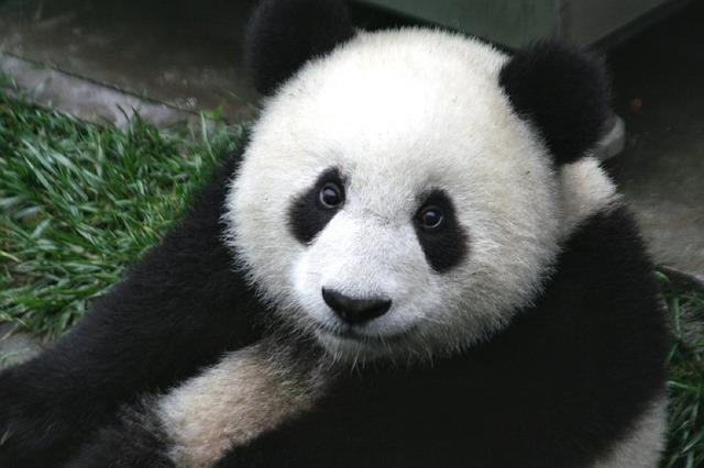 Dessiner Facile Un Panda Ah Ah Ah En 5min Grafibullenet