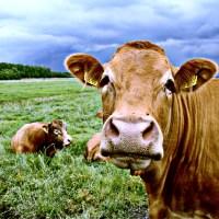 Krowa byk pastwisko drzewa chmury