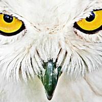 Sowa oczy dziób pióra