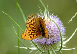 Silver-washed Fritillary on Teasle