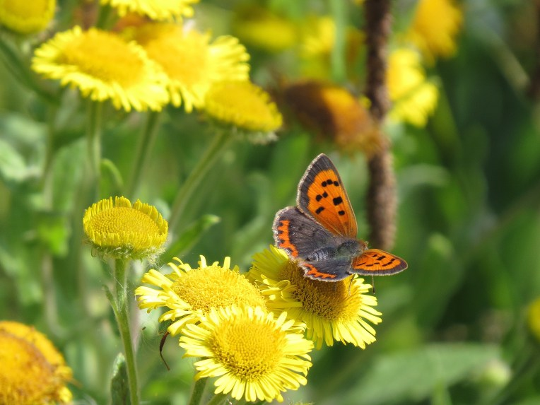 Small Copper on Fleabane