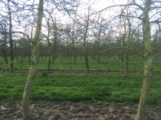 cider apples as far as the eye can see