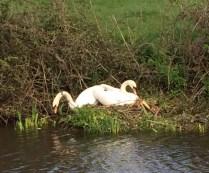 Lancastrian swans