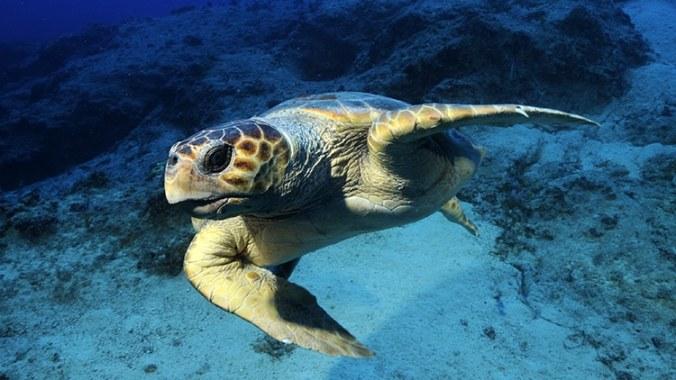 tortue caouanne, caretta caretta, en méditerranée, dragoman, aire marine protégée de Kas Kekova, plongée éco-responsable, tortue marine