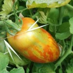 tomate andines cornues