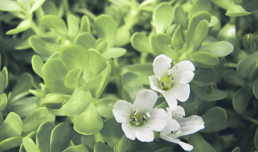 Liście i kwiaty Bacopa Monnieri - działanie przeciwlękowe, przeciwdepresyjne i prokognitywne