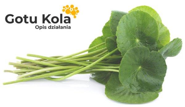Liście Gotu Kola - działanie adaptogenne wąkrotki azjatyckiej