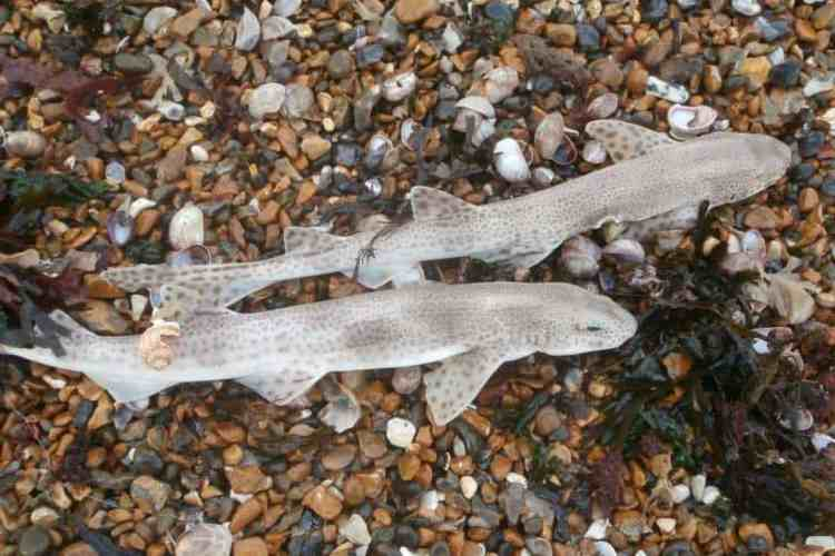 dogfish on a shingle beach