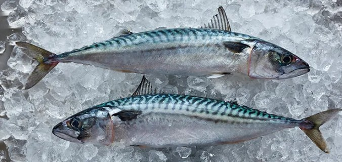mackerel on ice