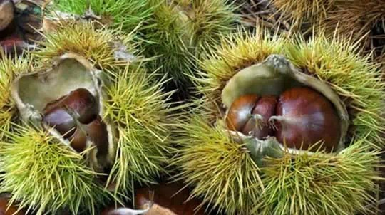 chestnuts in shells