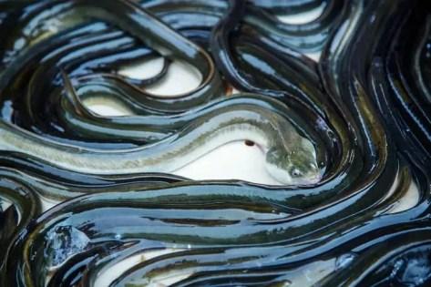 silver eels